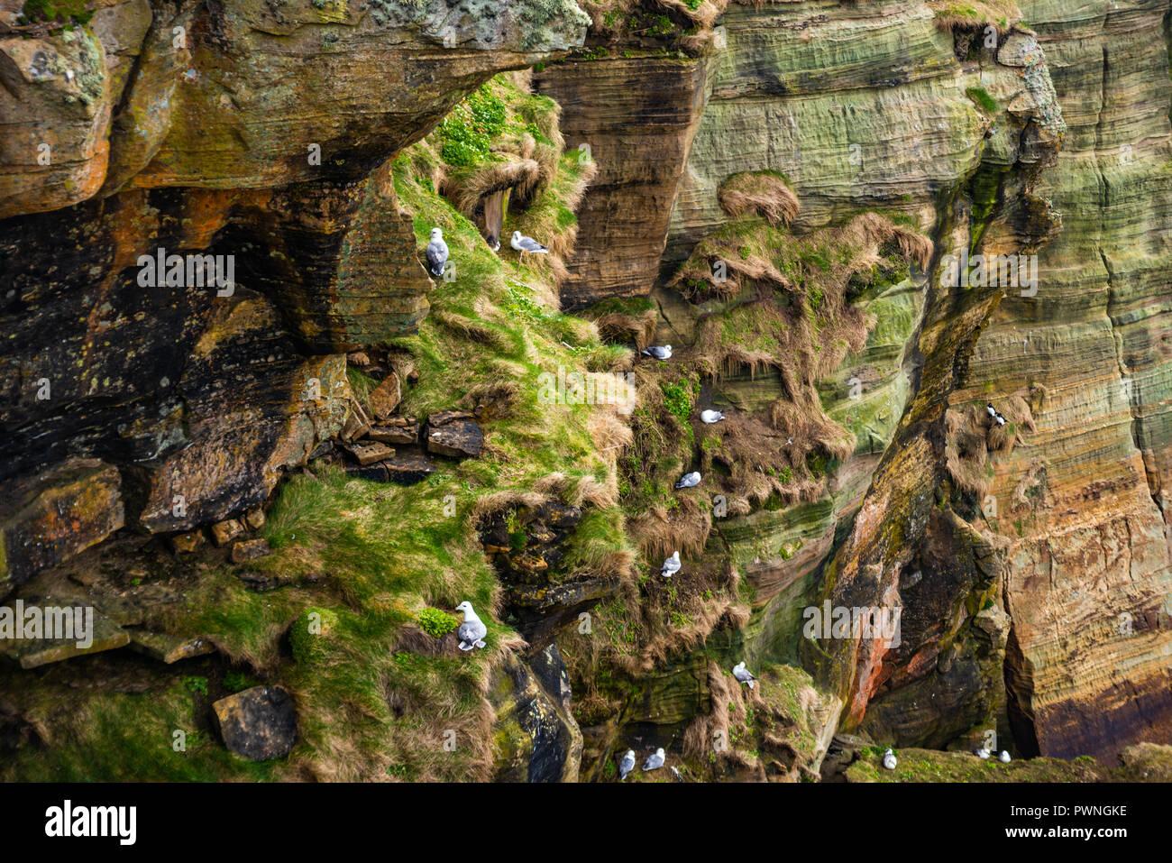 Seabirds nesting at, Lighthouse, Dunnet Head,, north coast, Scotland, Uk - Stock Image