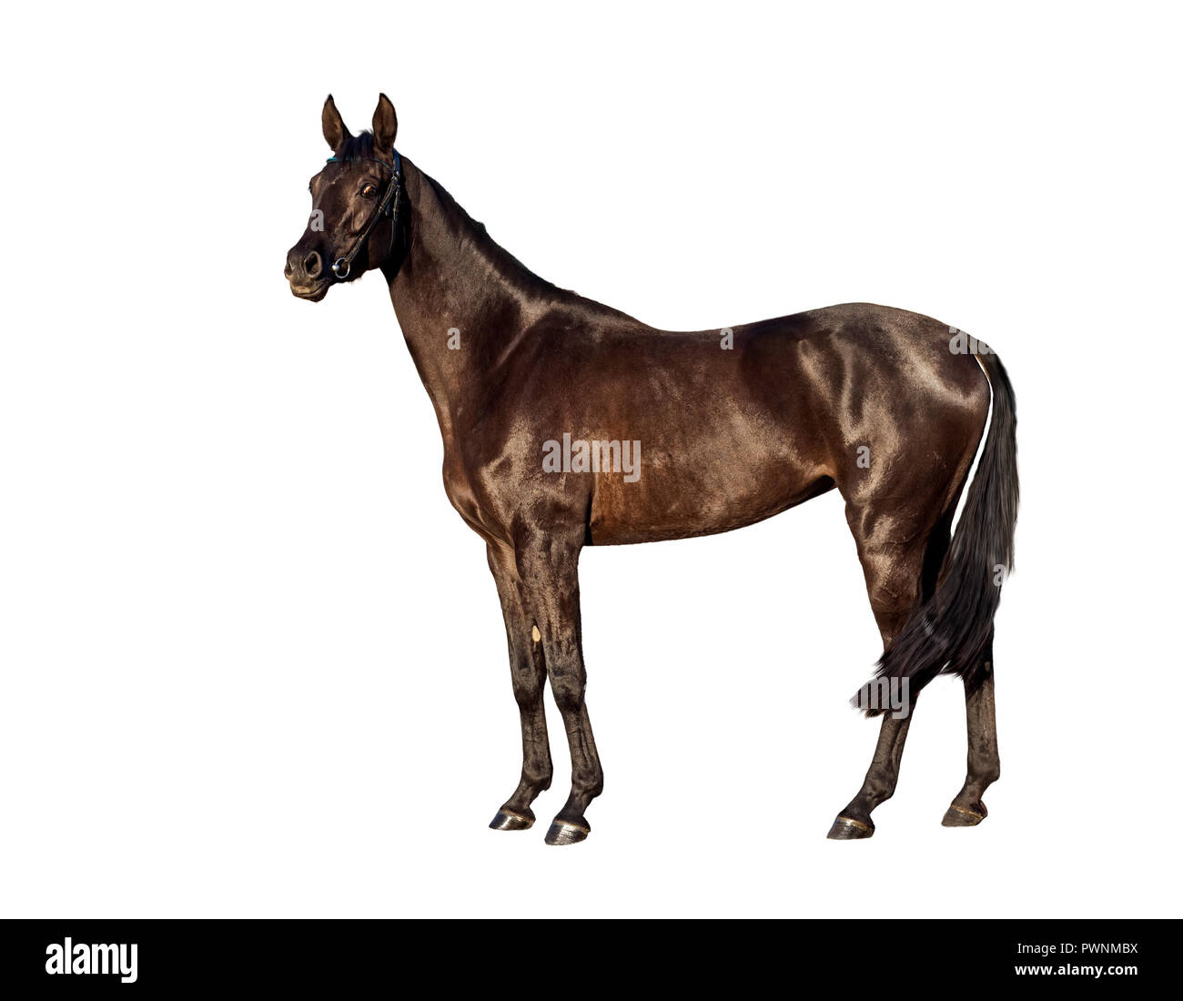 Portret of young bay horse isolated on a white background - Stock Image
