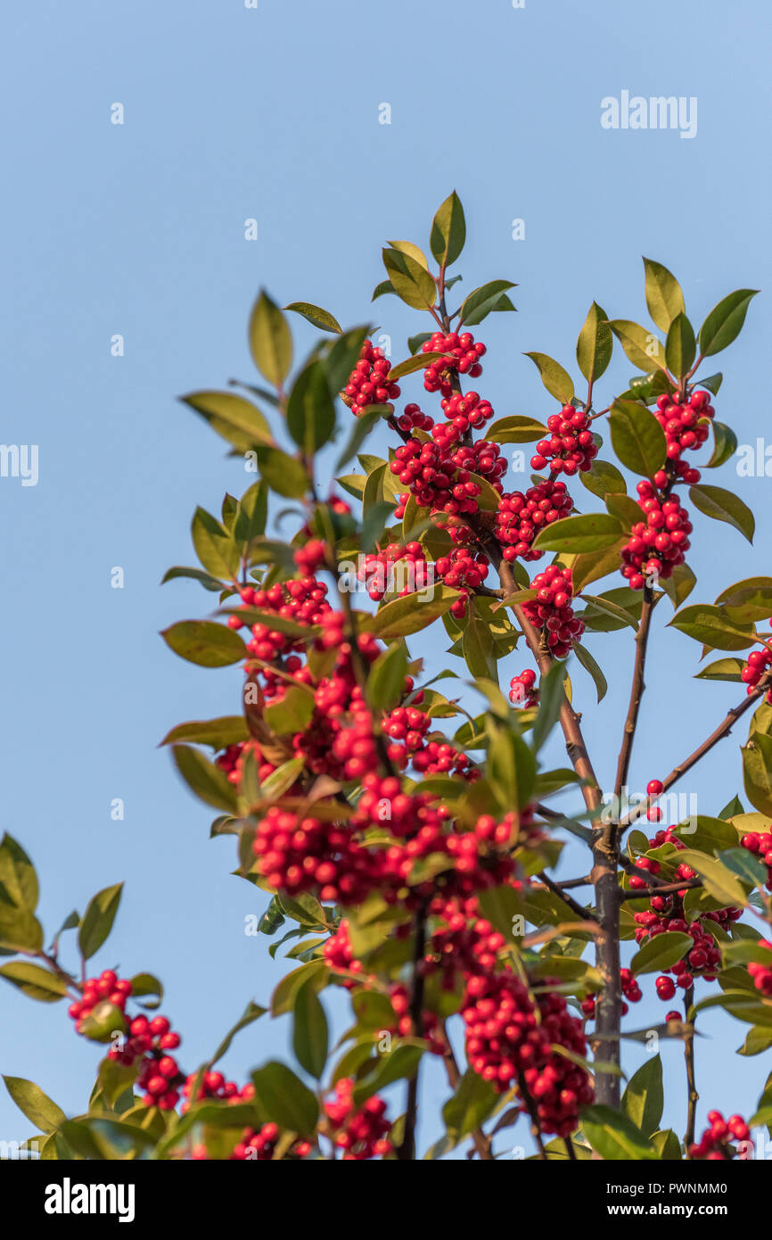 Holly Ilex Aquifolium Tree Covered In Red Berries In First Rays
