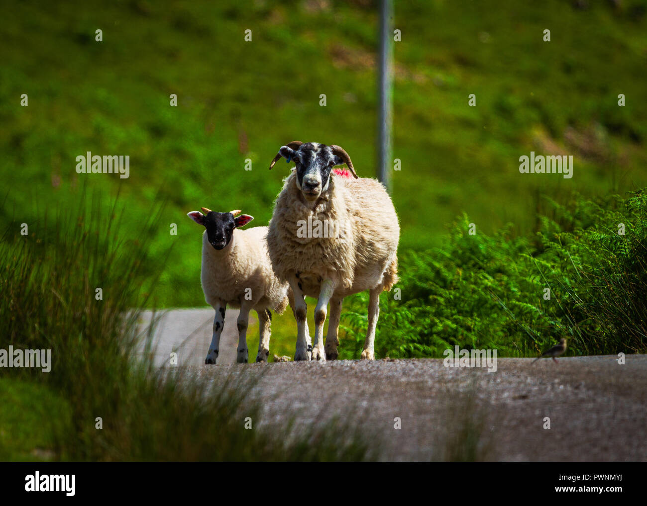 Sheep out on a Scottish Highland Road - Stock Image