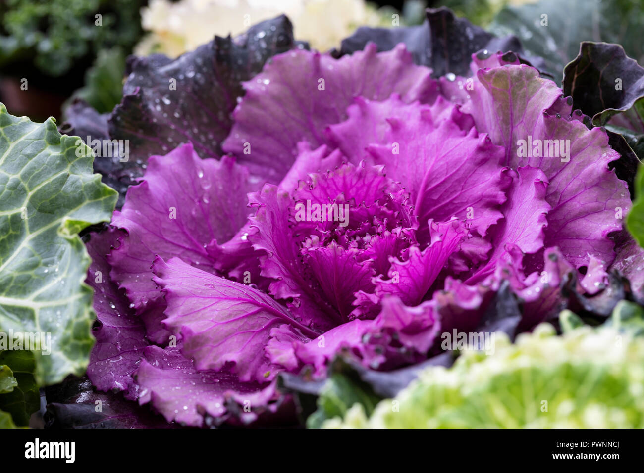 Ornamental Cabbage Winter High Resolution Stock Photography And Images Alamy