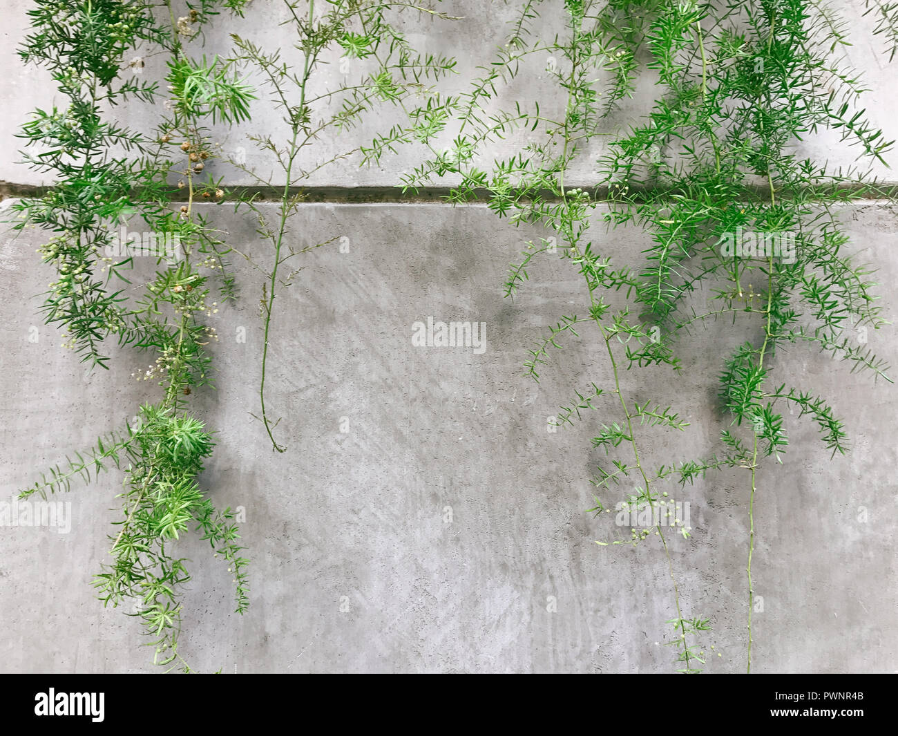 Textured Grey Wall Background, With Green Vines Growing - Stock Image