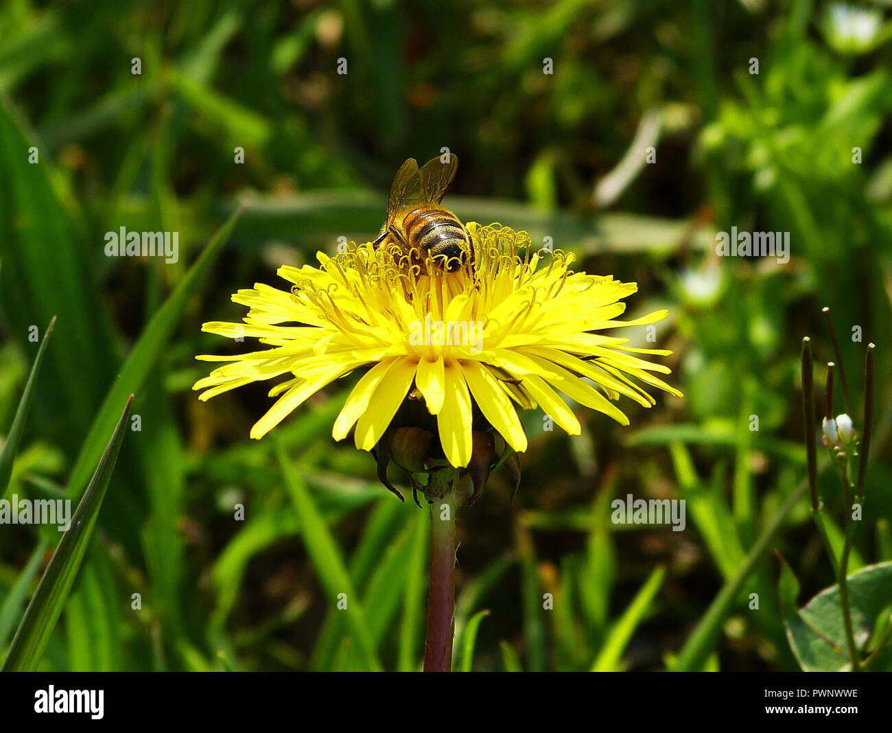 A bee pollinates a yellow flower - Stock Image