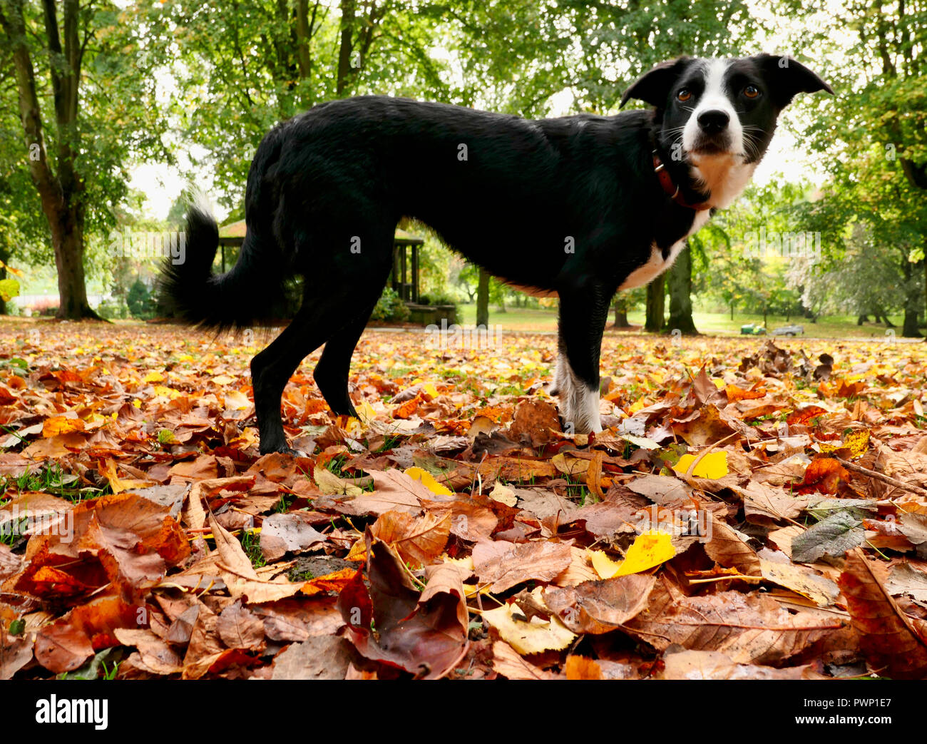 Ashbourne Park, Derbyshire, UK. 17th Oct, 2018. UK Weather: Autumn leaves fall in Ashbourne Park, Derbyshire the gateway to the Peak District National park Credit: Doug Blane/Alamy Live News Stock Photo