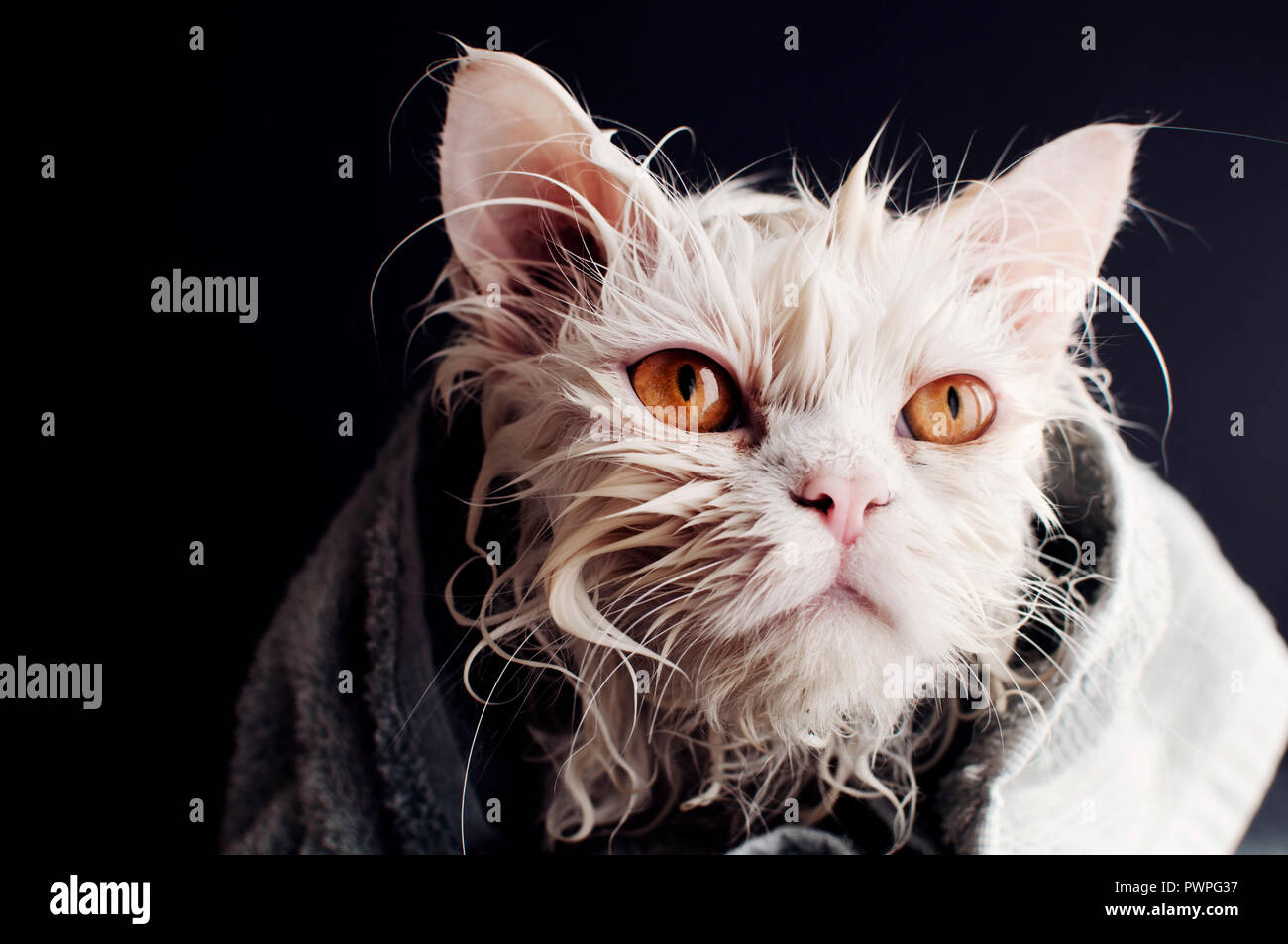 Wet cat after bath wrapped in towel - Stock Image