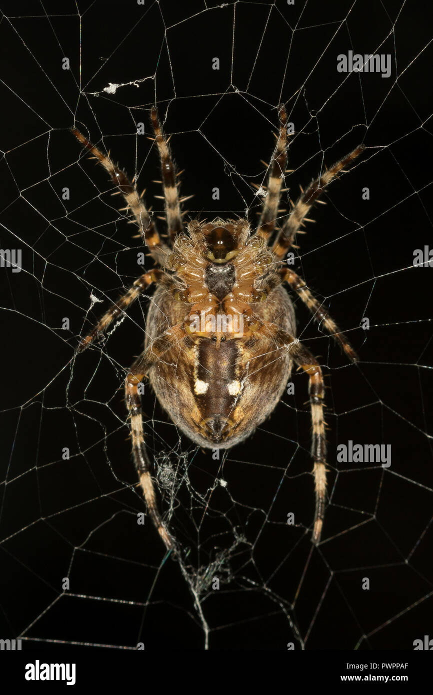 Highly detailed, portrait close up of a single British garden spider isolated in its web (macro photography), well lit against a dark blue background. - Stock Image