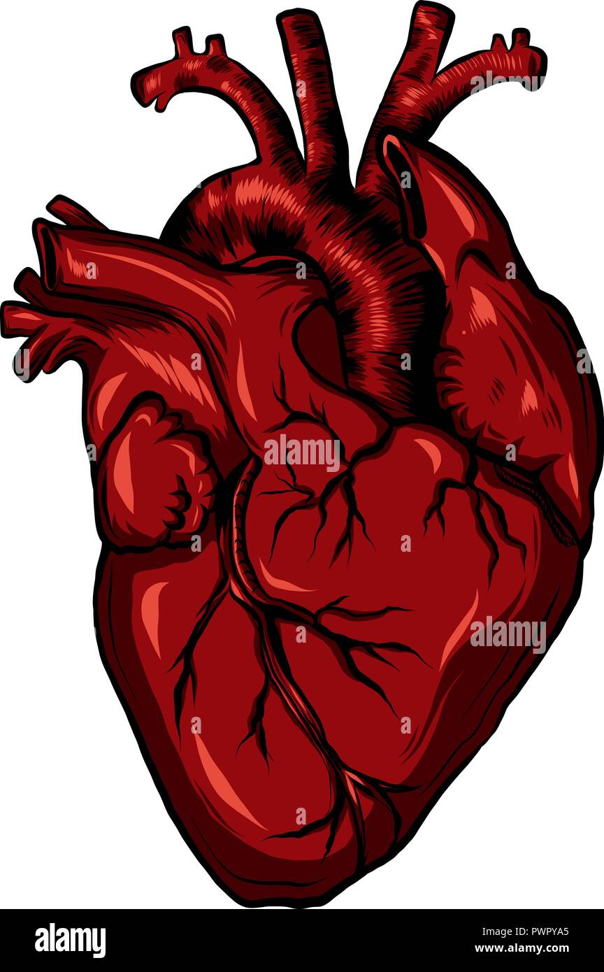 Real biology human heart red. Vector illustration - Stock Image