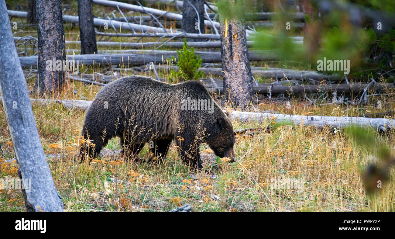 Two Yellowstone silvertip grizzly bears, a mother and her nearly grown cub, root for grubs and insects in a meadow just north of Old Faithful Geyser B - Stock Image
