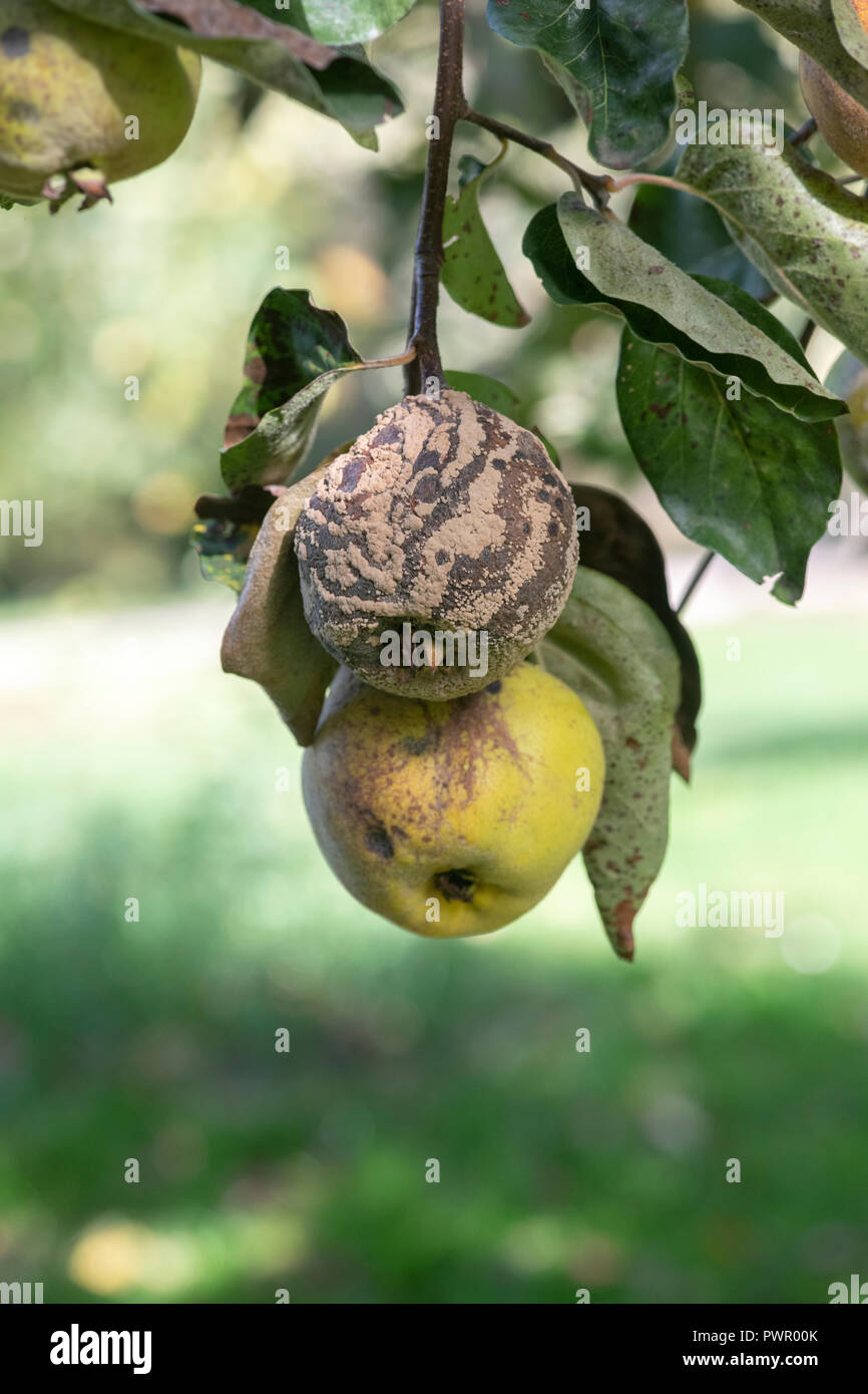Cydonia oblong. Aromatnaya Quince fruit with and without brown rot on the tree - Stock Image
