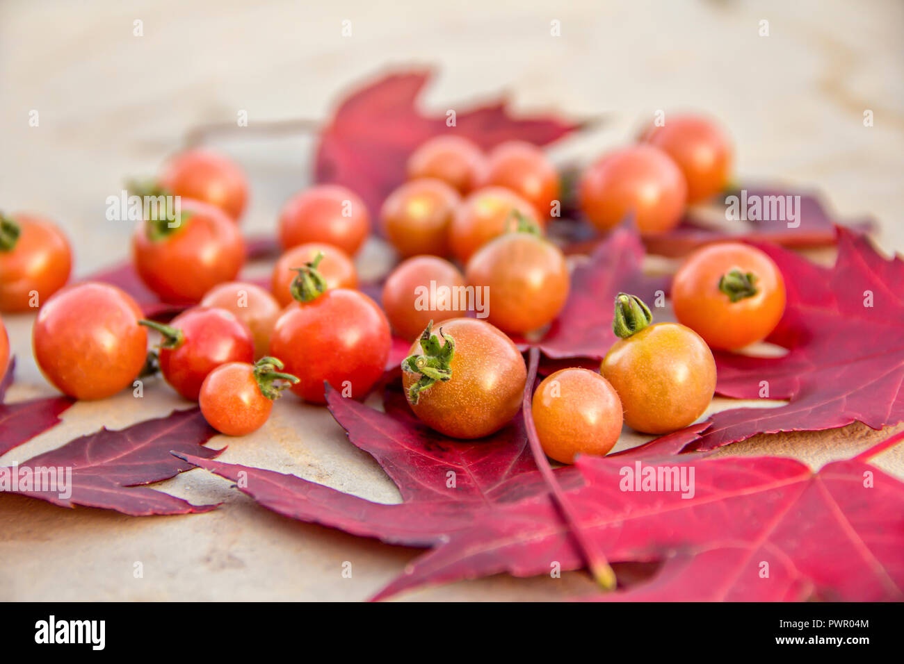 Fresh red ripe autumn cherry tomatoes laying on red mapel leaves on a background of an old cement table Stock Photo