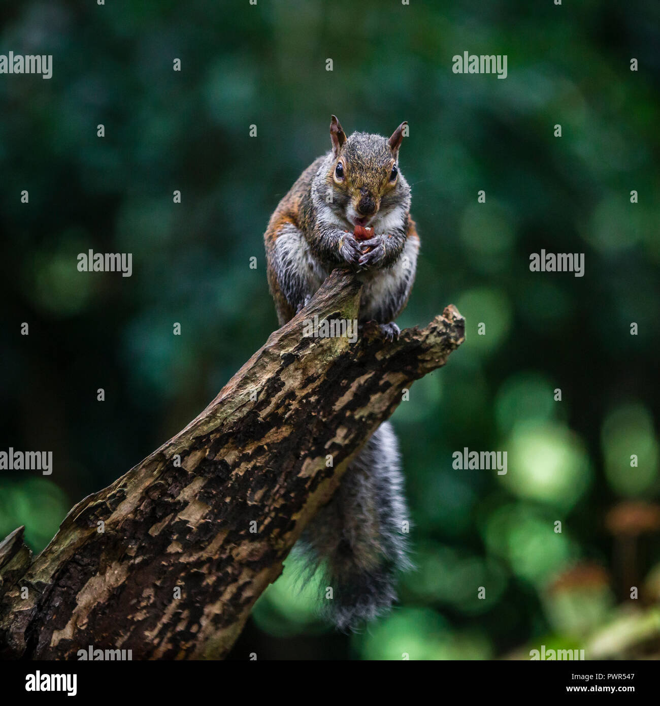 A squirrel takes a moment to feed. - Stock Image