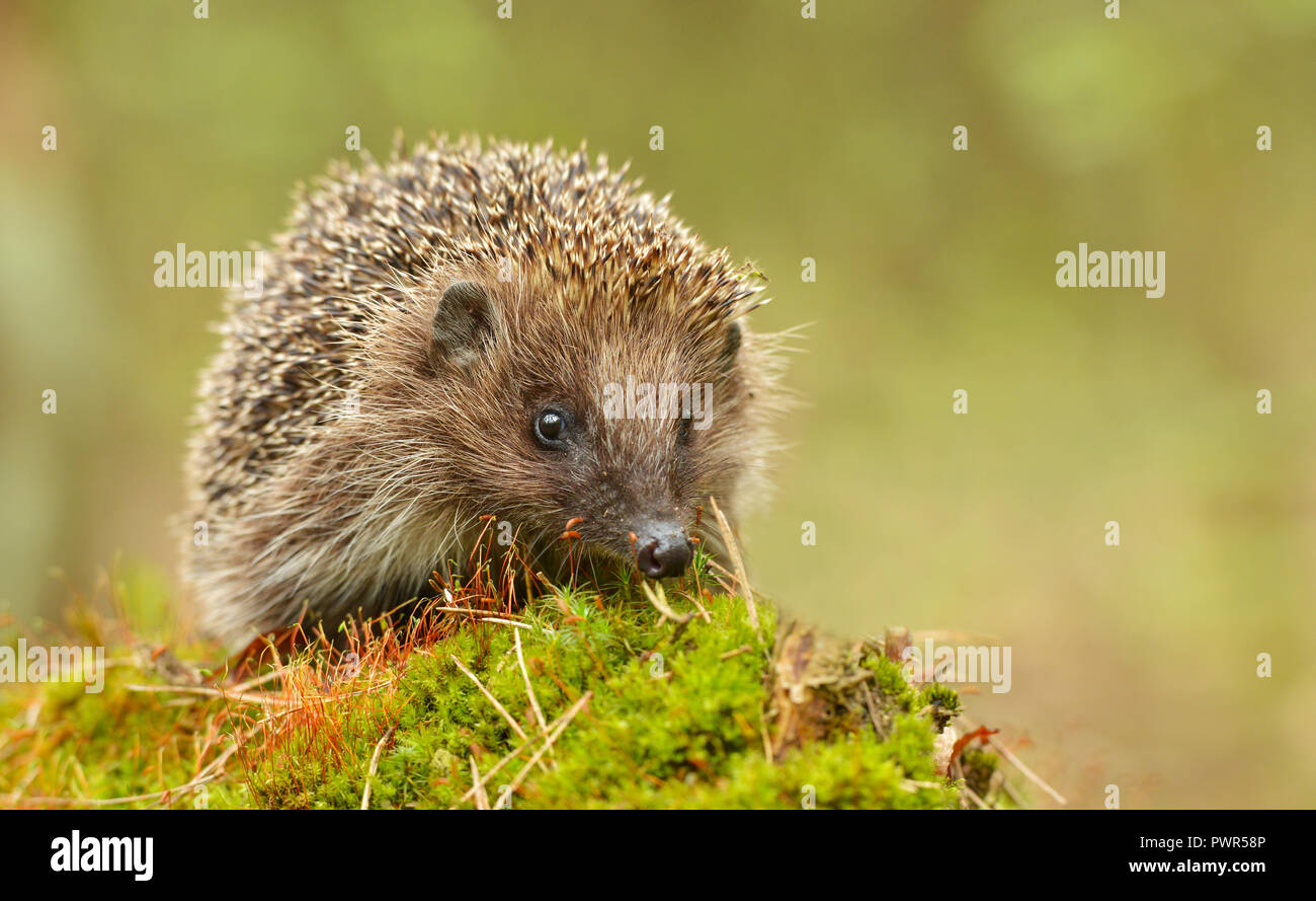 Young hedgehog in natural habitat - Stock Image