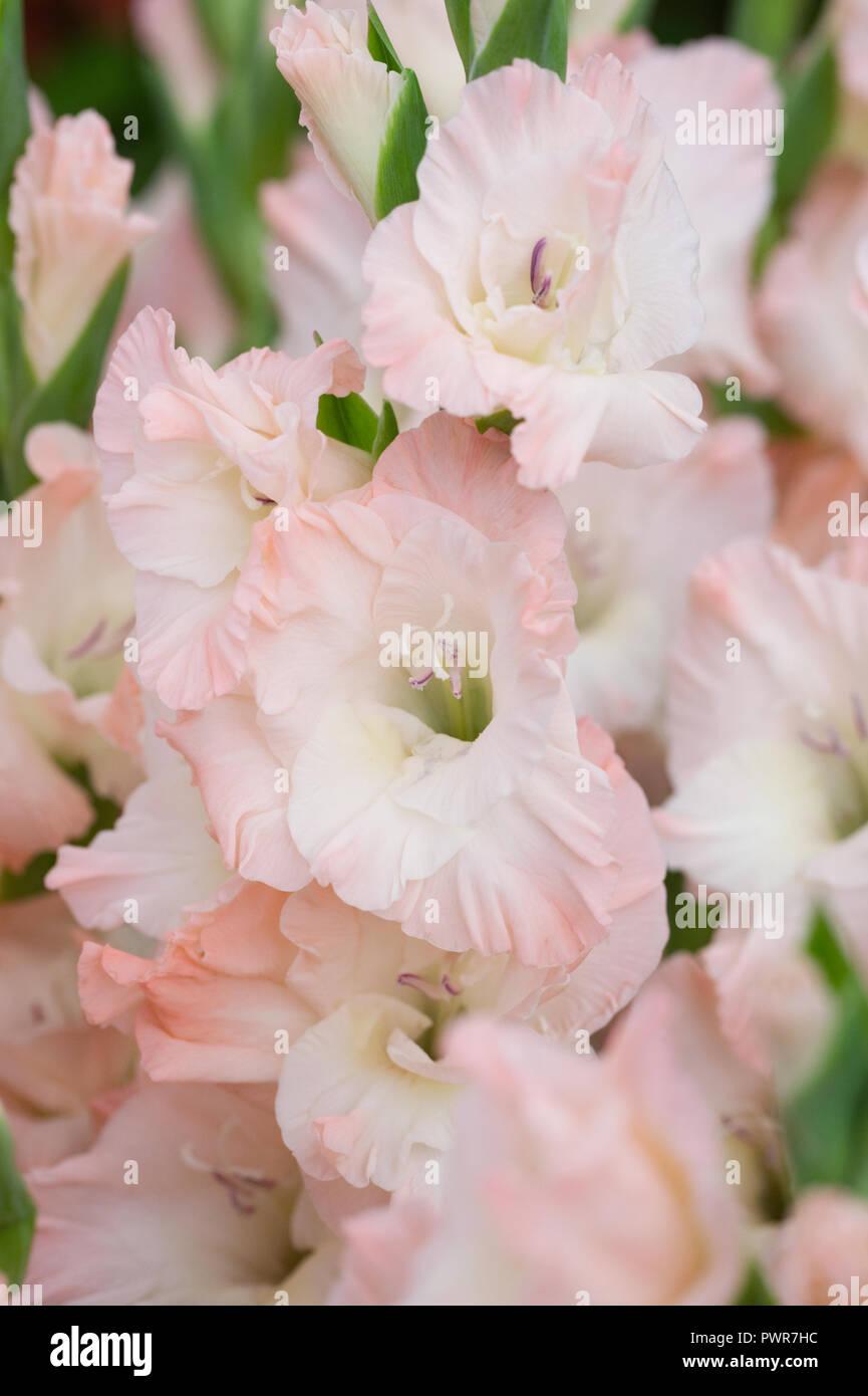Gladiolus 'Careless' flowers. - Stock Image