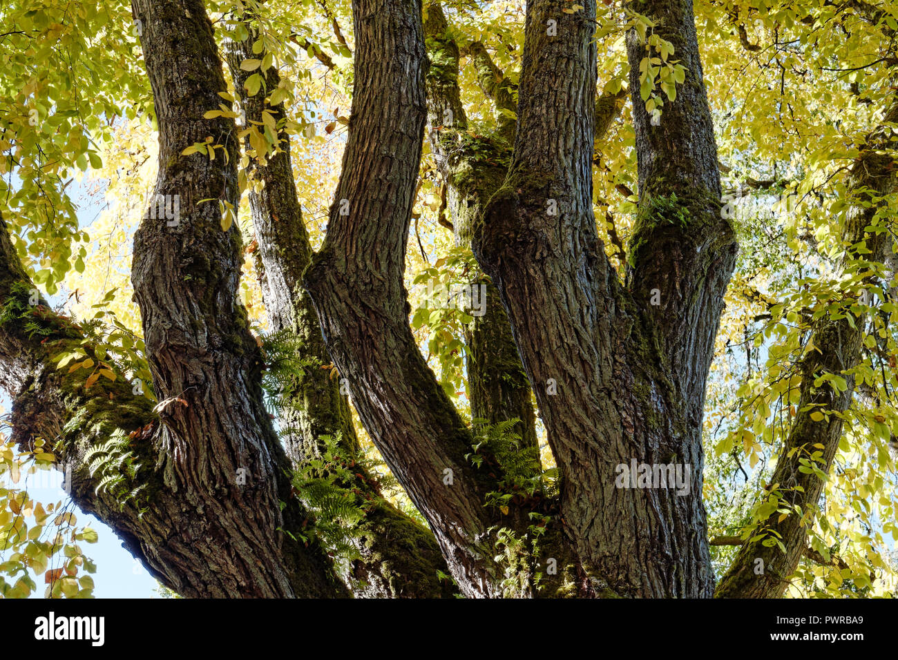 View from below of the trunk and branches of a mature American elm Ulmus Americana tree with fall foliage Vancouver, BC, Canada - Stock Image