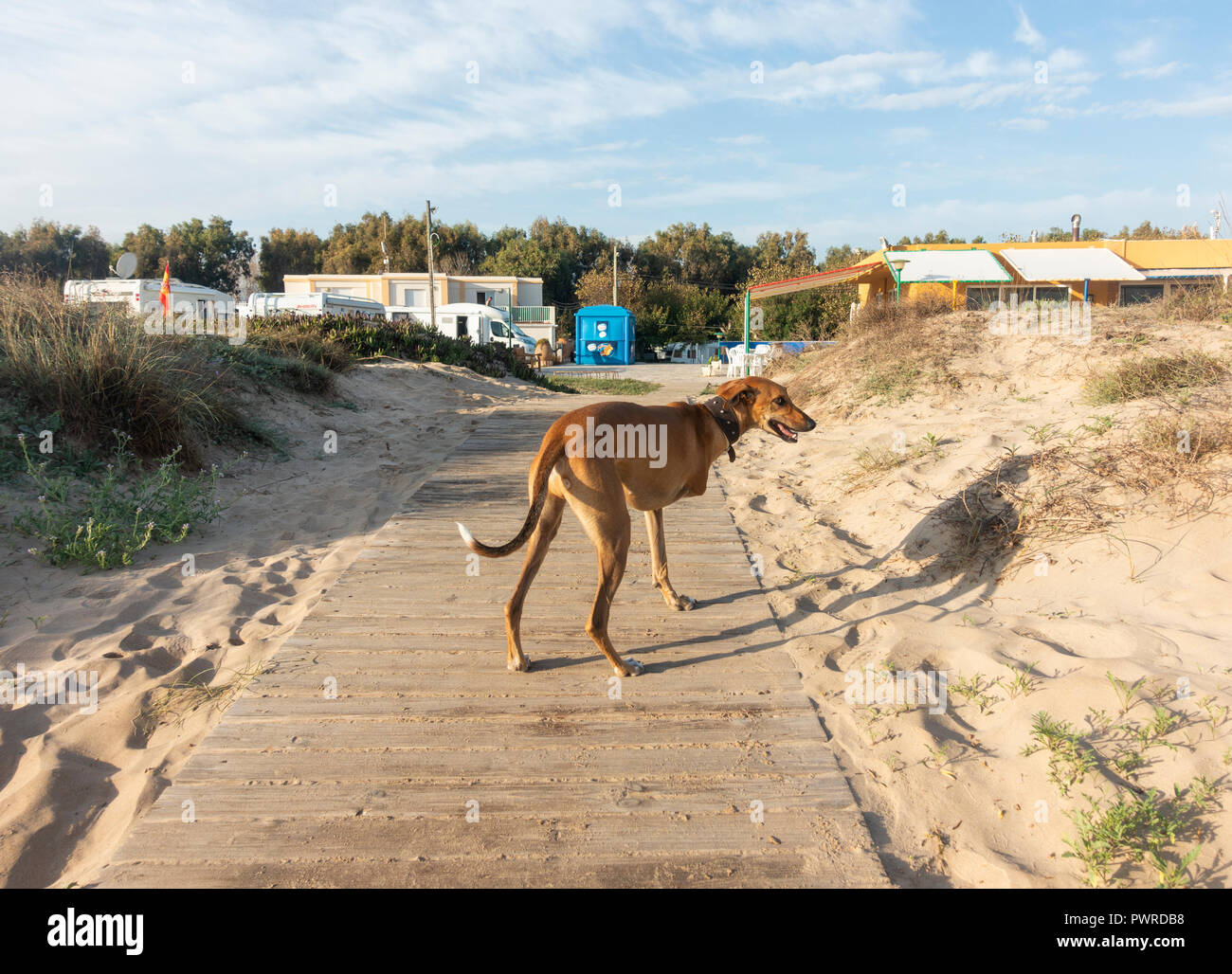 Whippet breed dog with three legs on beach in Spain - Stock Image
