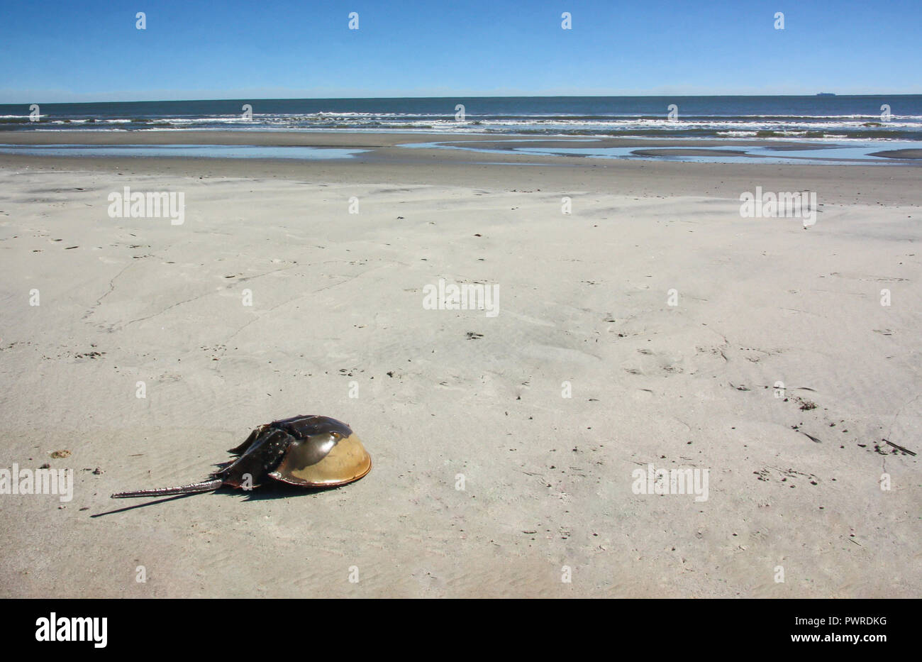 A horseshoe crab stranded on a beach with ocean waves in the background. - Stock Image