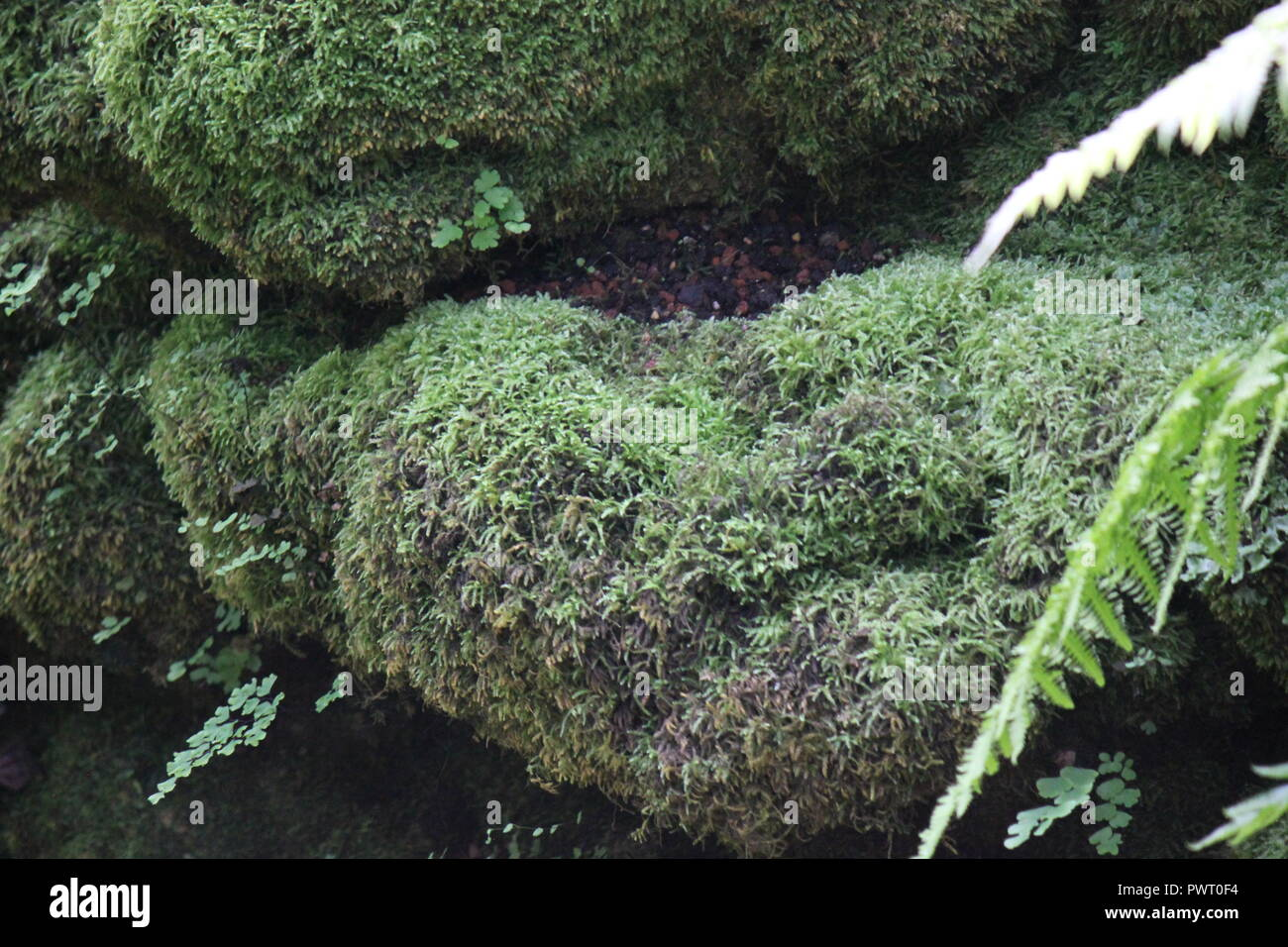 Green moss, Bryophyta, covered rock stone at the Garfield Park Conservatory in Chicago, Illinois. - Stock Image