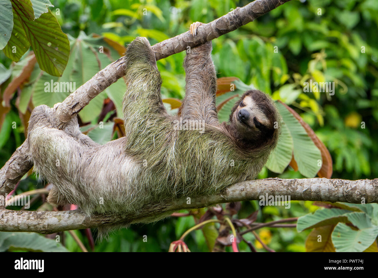 Central America, Costa Rica. Wild brown-throated sloth (Bradypus variegatus) in a tree. Type of three-toed sloth found in the neotropical climates. Stock Photo