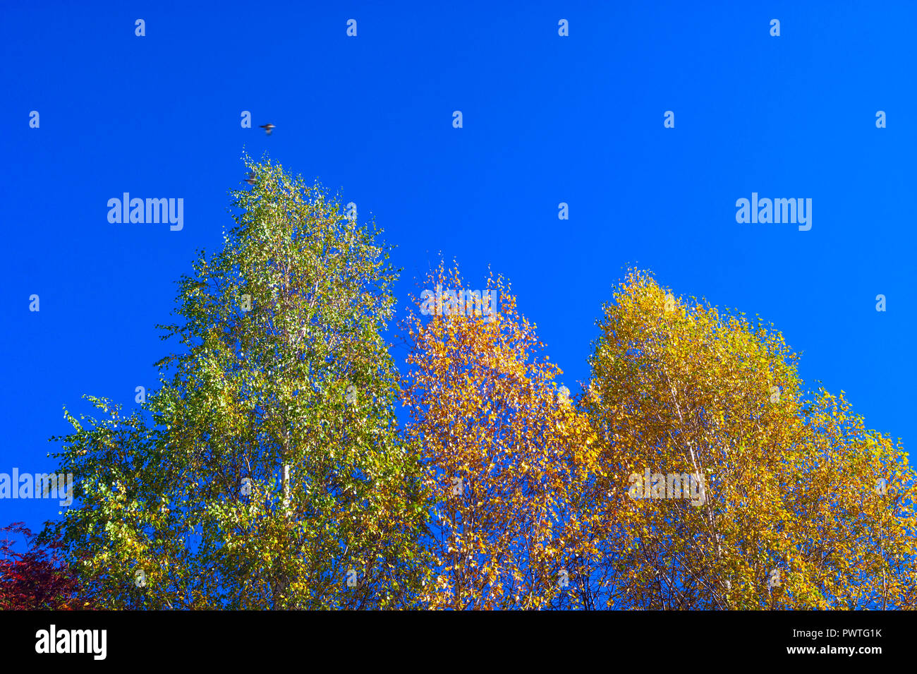 Looking Up The Birch Tree Tops Against Blue Sky On A Sunny Fall Day. A Bird Flying Over. - Stock Image
