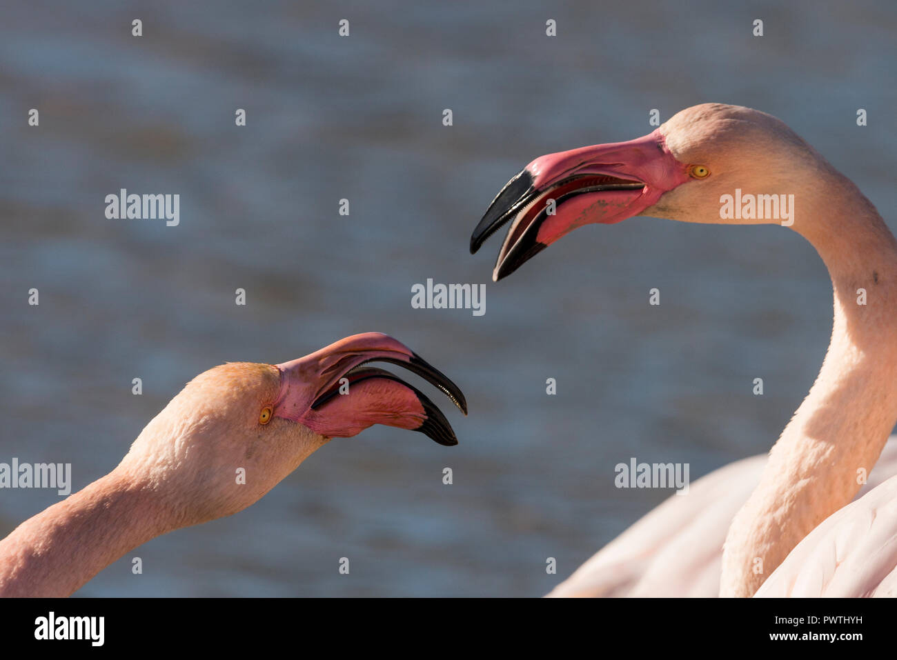 Greater flamingos (Phoenicopterus roseus) quarreling, animal portrait, Camargue, South of France, France - Stock Image