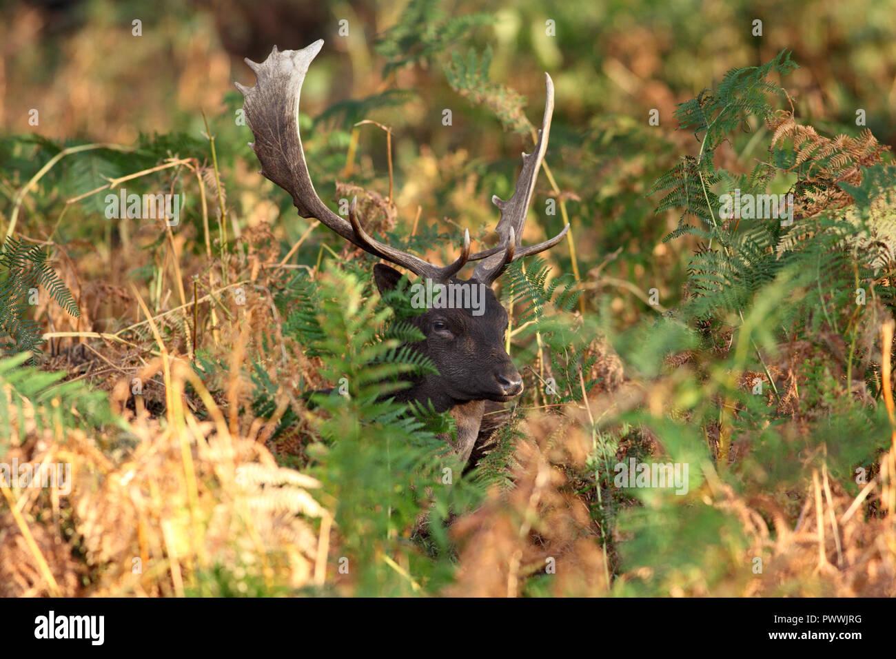 Fallow Deer Buck (Dama Dama) in Autumn, UK. - Stock Image