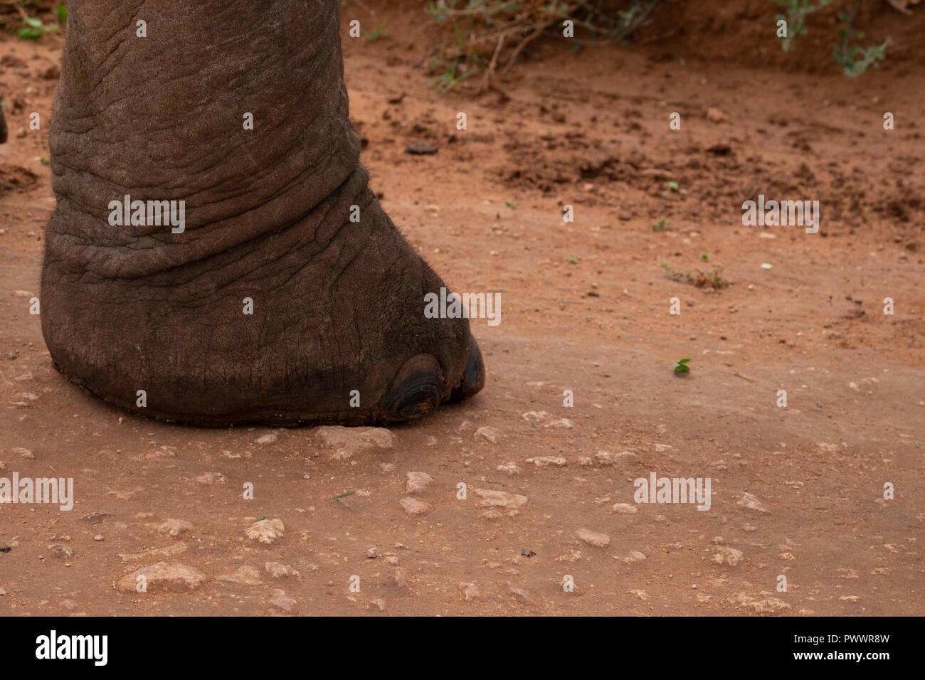 close up of elephant footSA - Stock Image