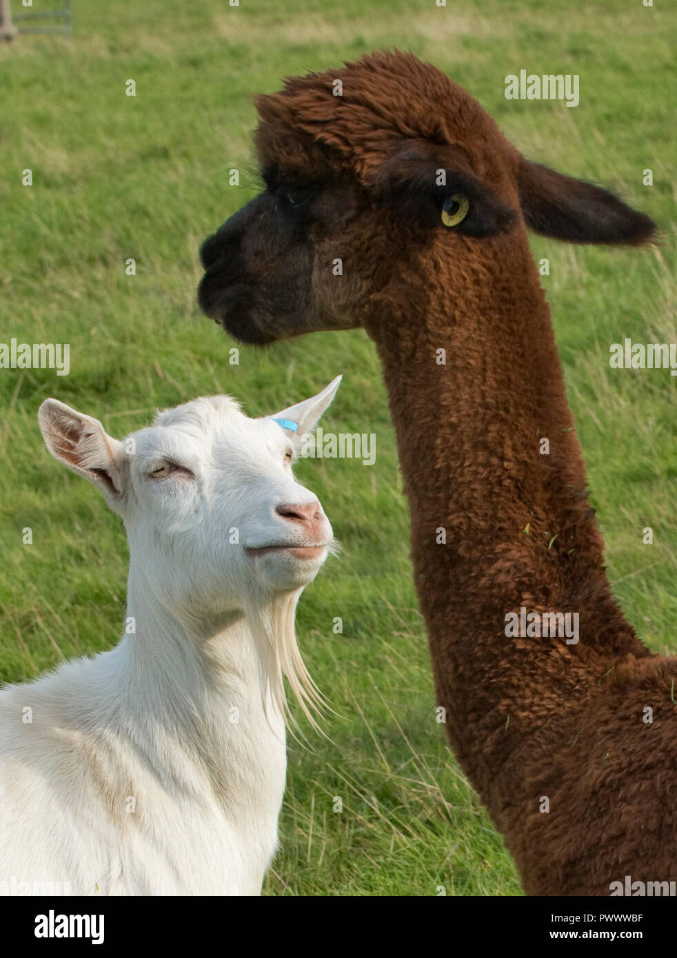 A brown, recently sheared, male alpaca with a white Saanen nanny goat looking up, Berkshire, September - Stock Image