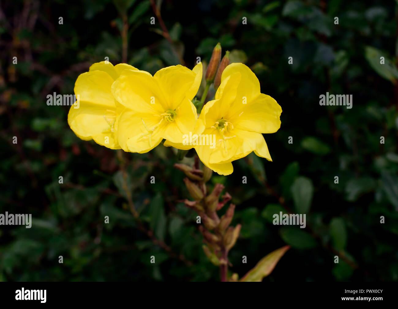 Evening Primrose Flowers Stock Photos Amp Evening Primrose