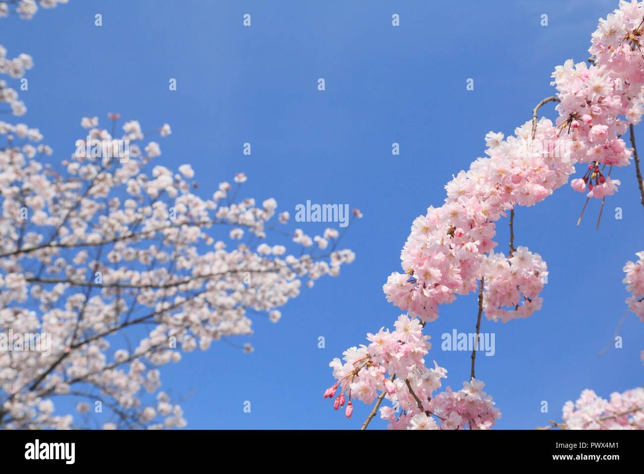 sakura in  kyoto - Stock Image