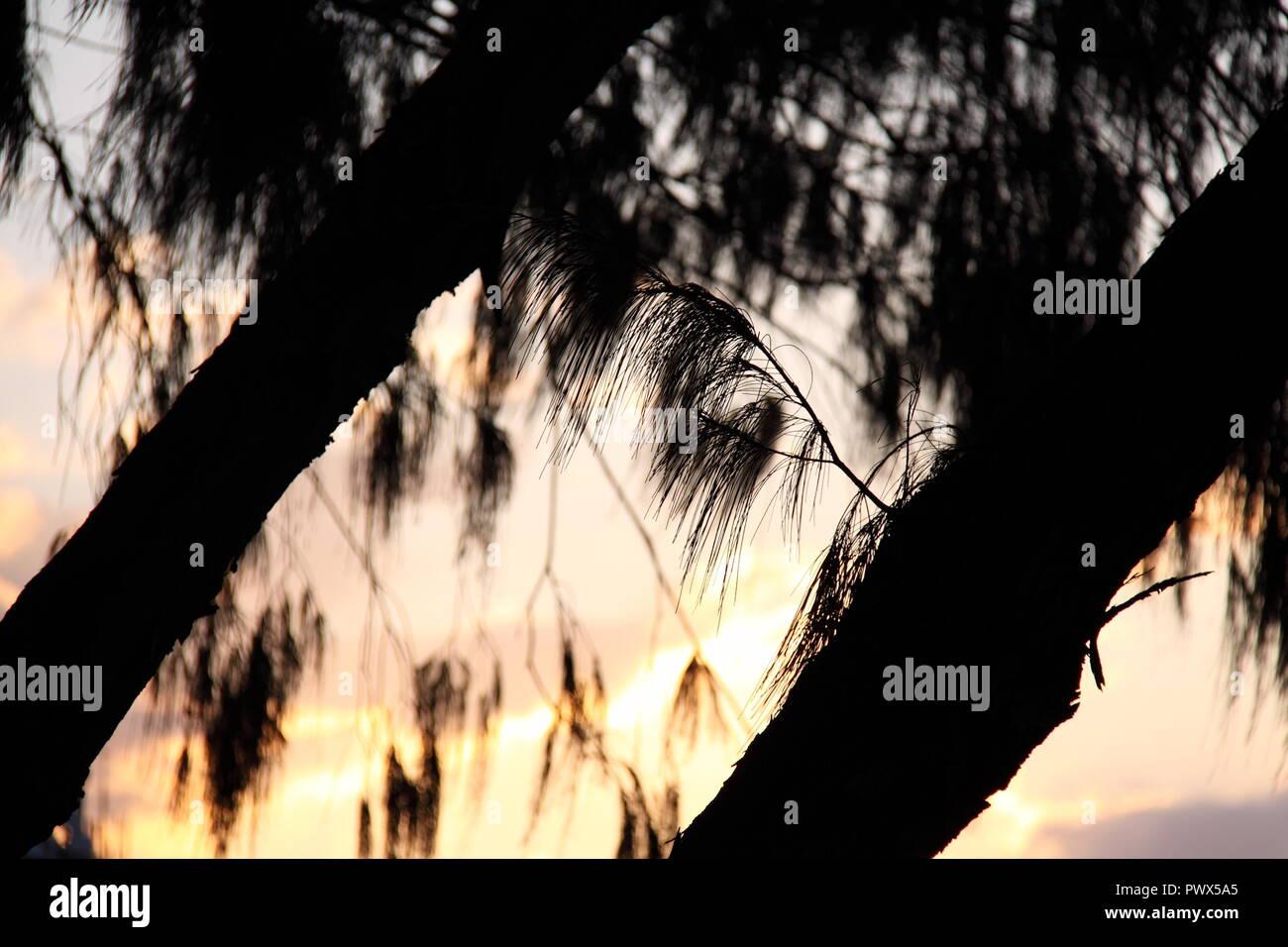 Silhouette of the Horsetail She-Oak (Casuarina Equisetifolia) at Sunset - Stock Image