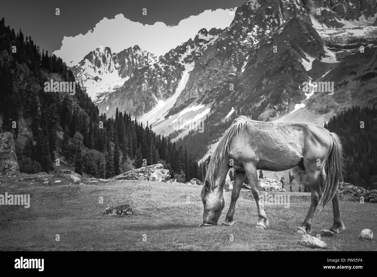 Horse grazing on a grassland in Sonmarg, India, 85km east of Srinagar, against the Himalayan mountains in the summer - Stock Image