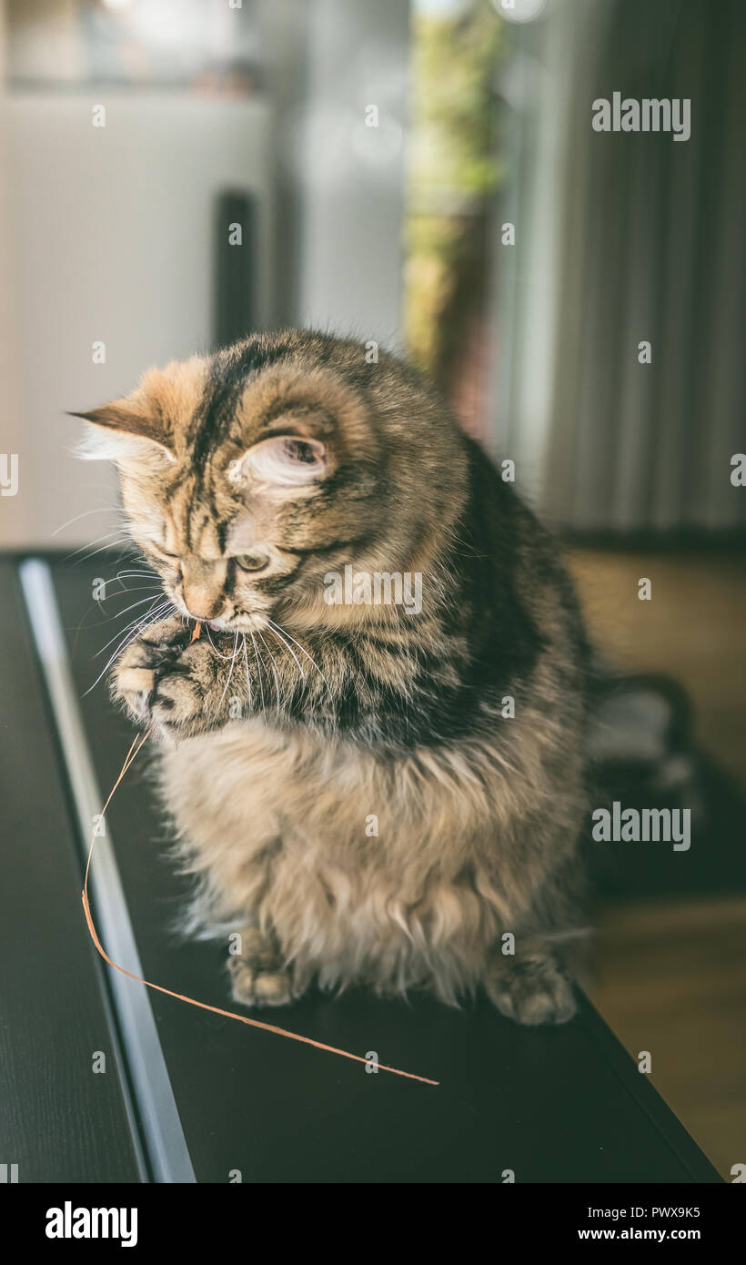 Fluffy cat sits on its hind legs and holds grass in its front paws and is chewing it, indoor. Funny cat plays - Stock Image