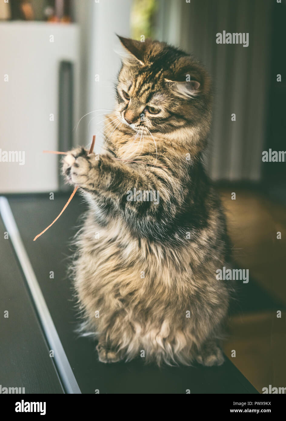 Funny fluffy cat sits on its hind legs and holds dried  grass in its front paws, indoor. Cat  plays - Stock Image