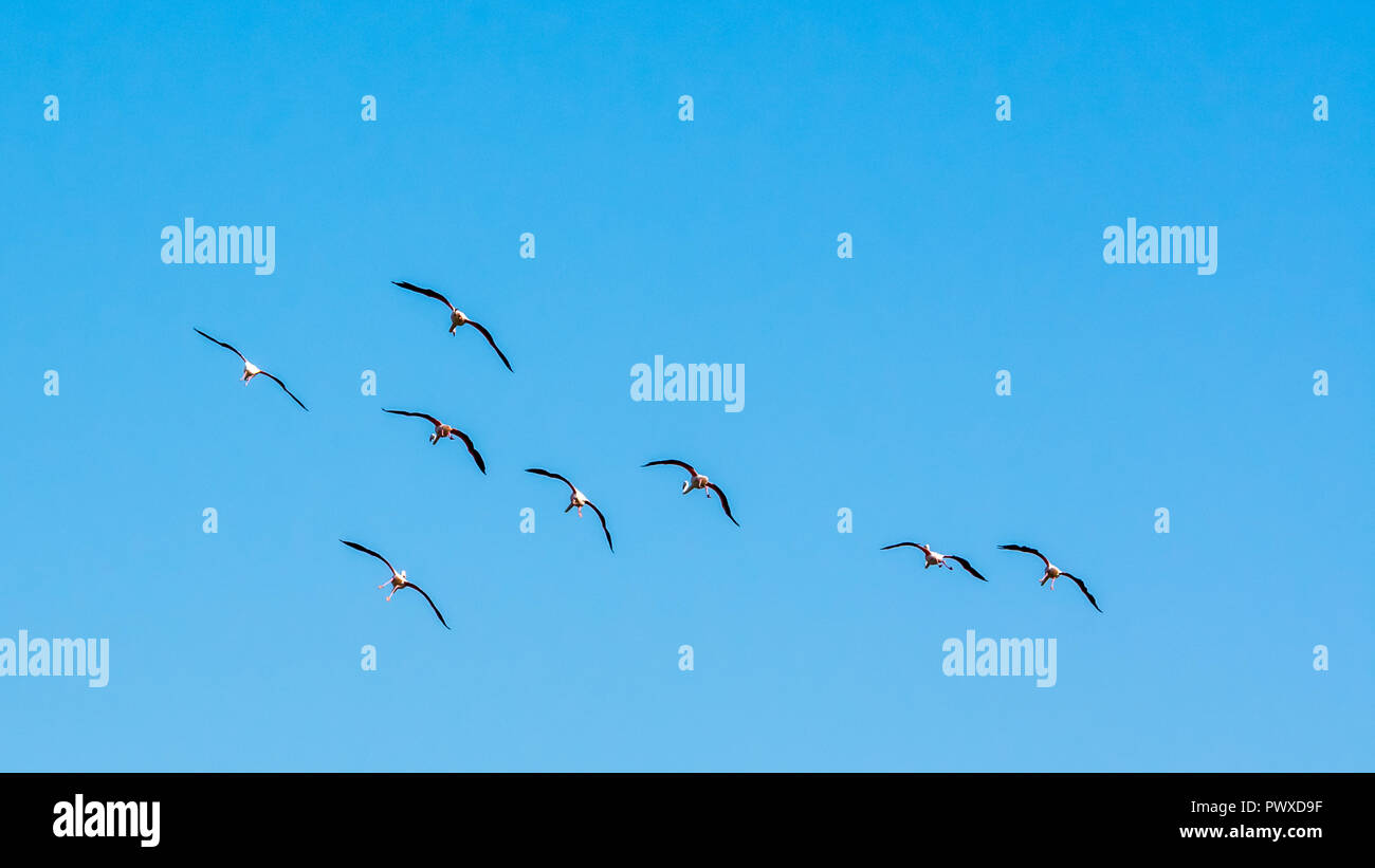 Eight flamingos flying in the sky with wings spread - Stock Image
