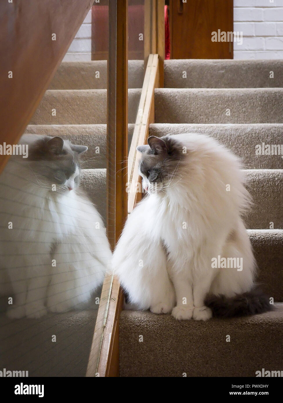 A male Ragdoll cat in pensive mood on stairs with his reflection in a glass panel in UK - Stock Image