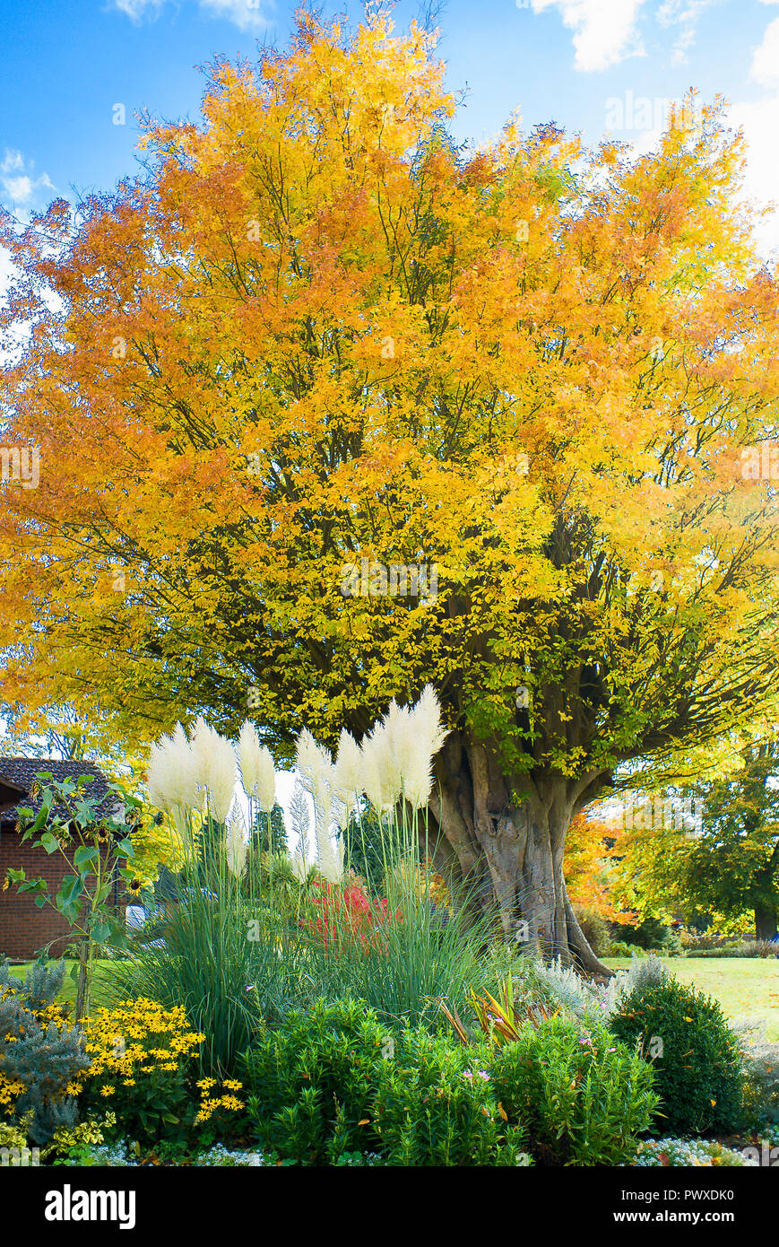Autumn leaves on a truncated old Caucasian Elm tree in Bromham village Wiltshire England UK - Stock Image