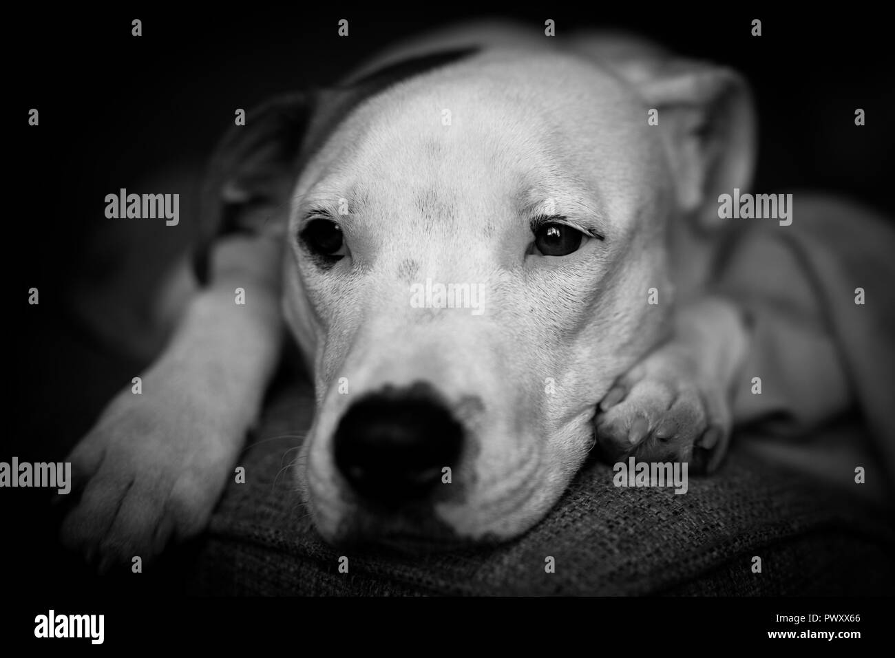 Young American Bulldog pup relaxes at home. - Stock Image