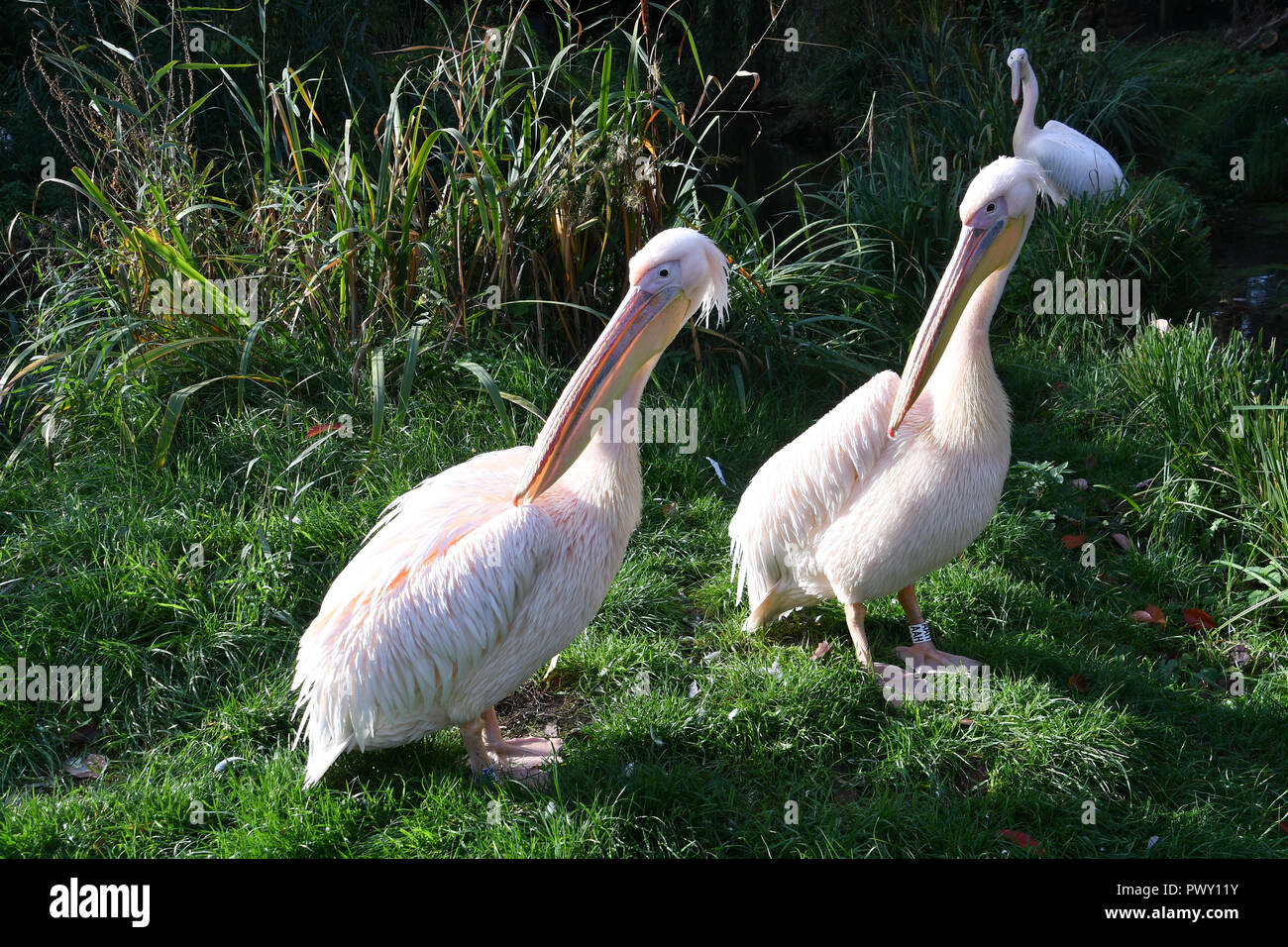 London, UK. 18th Oct 2018. Flamingos at ZLS London Zoo's Asiatic lions celebrate the advent of autumn with scented treat, London, UK. 18 October 2018. 18 October 2018. Credit: Picture Capital/Alamy Live News - Stock Image