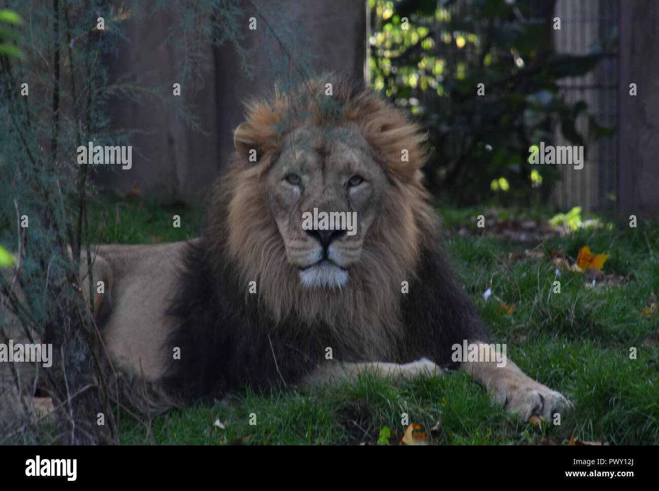 London, UK. 18th Oct 2018. ZLS London Zoo's Asiatic lions celebrate the advent of autumn with scented treat, London, UK. 18 October 2018. 18 October 2018. Credit: Picture Capital/Alamy Live News - Stock Image