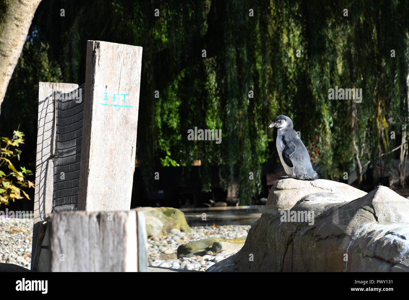 London, UK. 18th Oct 2018. Penguins at ZLS London Zoo's Asiatic lions celebrate the advent of autumn with scented treat, London, UK. 18 October 2018. 18 October 2018. Credit: Picture Capital/Alamy Live News - Stock Image