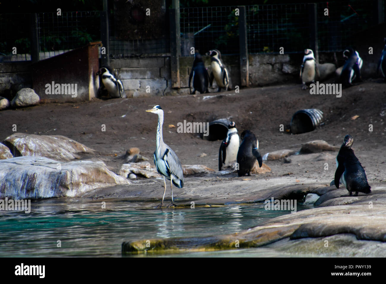London, UK. 18th Oct 2018. Penguins and crane at ZLS London Zoo's Asiatic lions celebrate the advent of autumn with scented treat, London, UK. 18 October 2018. 18 October 2018. Credit: Picture Capital/Alamy Live News - Stock Image