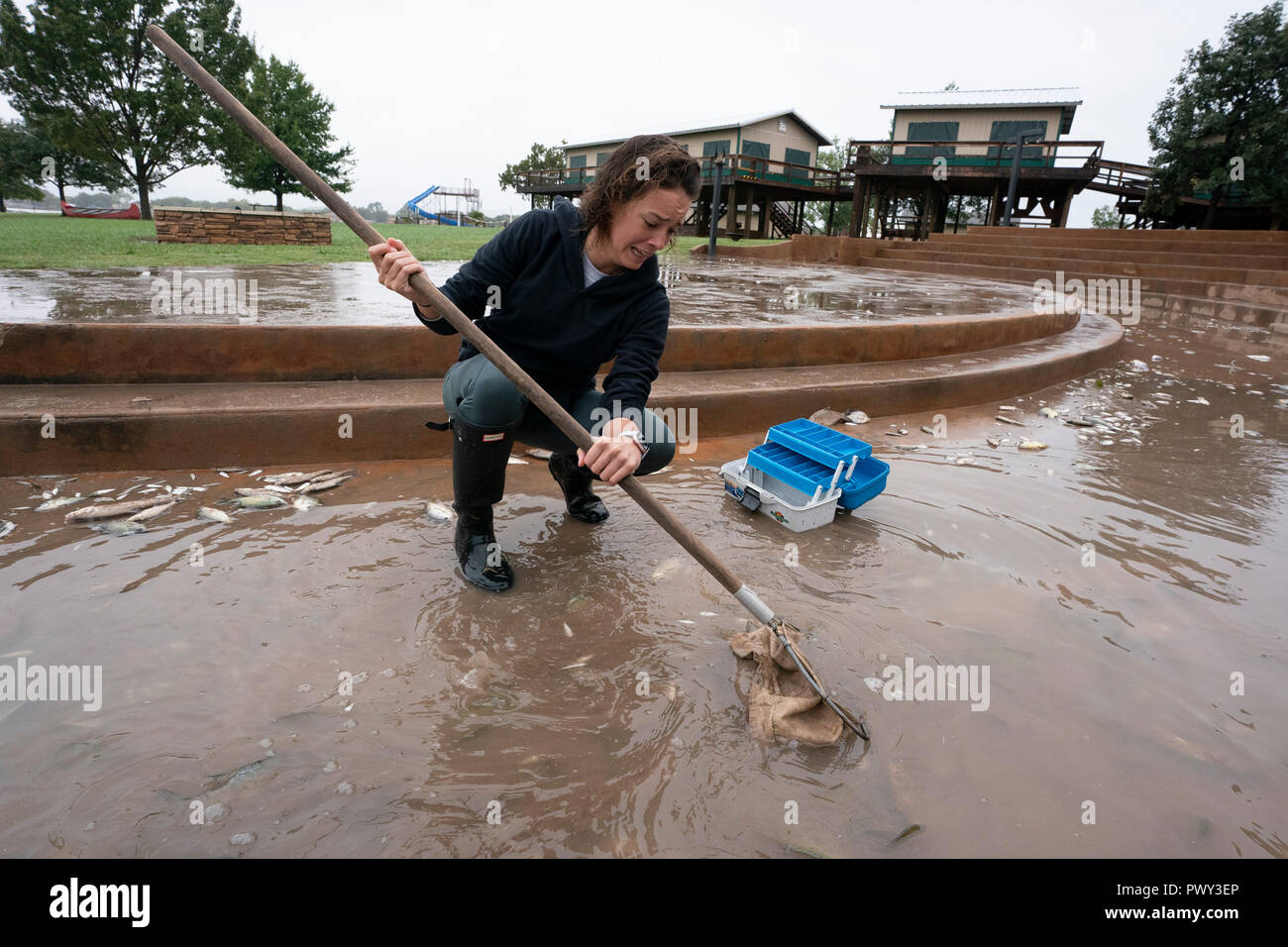 A female worker uses a long-handled net to scoop up dead fish at a camp on the shore of Lake LBJ as floodwaters start to recede. The area was hard hit by record rains along the Llano River that raised lake levels rapidly and stranded fish in shallows. - Stock Image