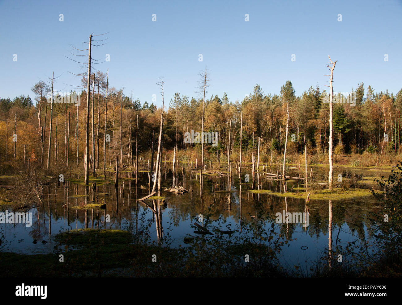 DELAMERE, UK. 18 October 2018. Autumn shows its colours on a mild sunny day at Delamere Forest, north-west England. Premospix/Alamy Live News - Stock Image