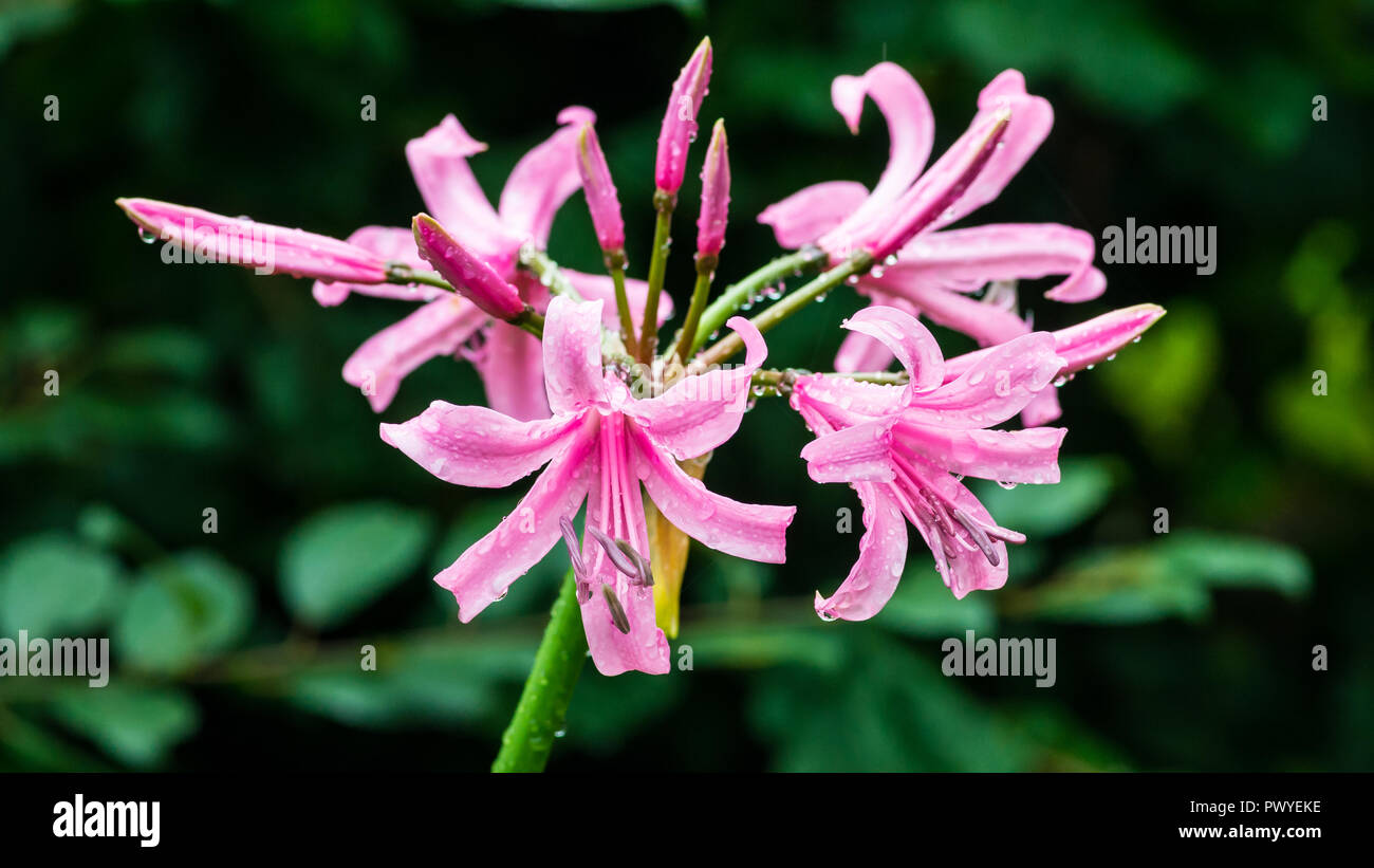 A macro shot of a pink nerine bowdenii flower. - Stock Image
