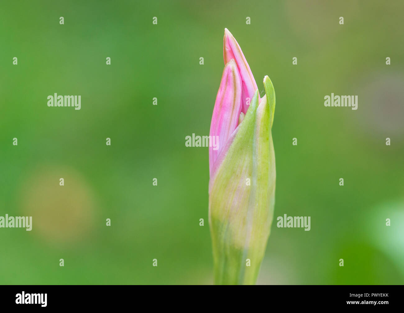 A macro shot of a nerine bowdenii flower bud that has started to open. - Stock Image