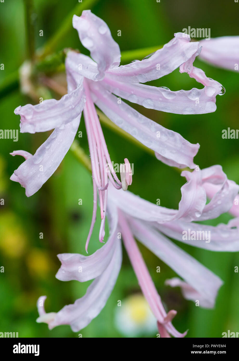 A macro shot of a pink nerine bowdenii bloom with petals covered in raindrops. - Stock Image