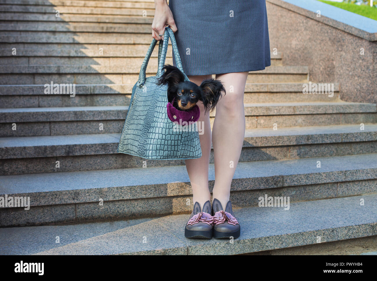 Black Russian Terrier sitting in a gray dog carrying bag that holding light-skinned woman - Stock Image