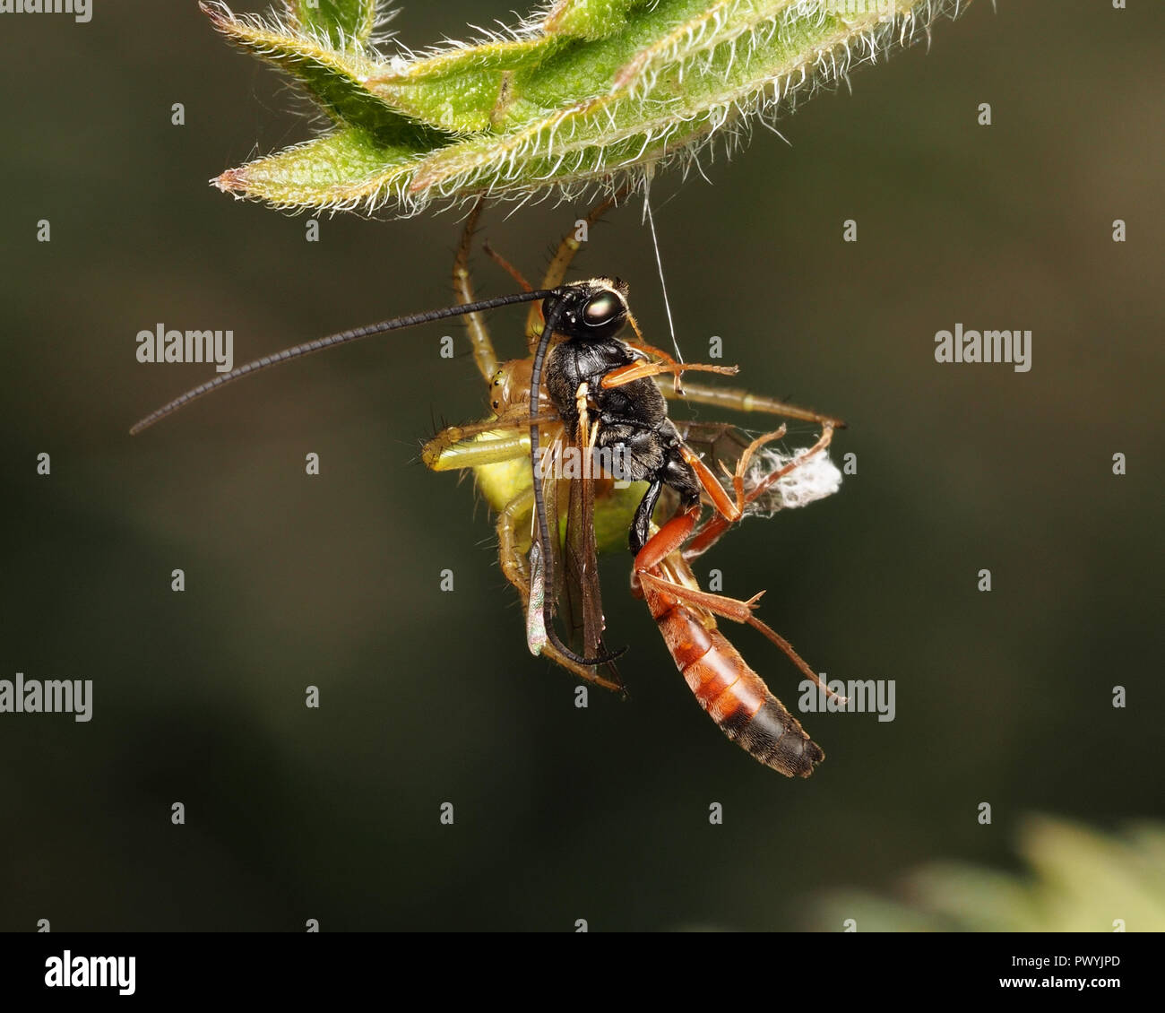 Parasitoid wasp caught by Araniella sp spider. Tipperary, Ireland - Stock Image