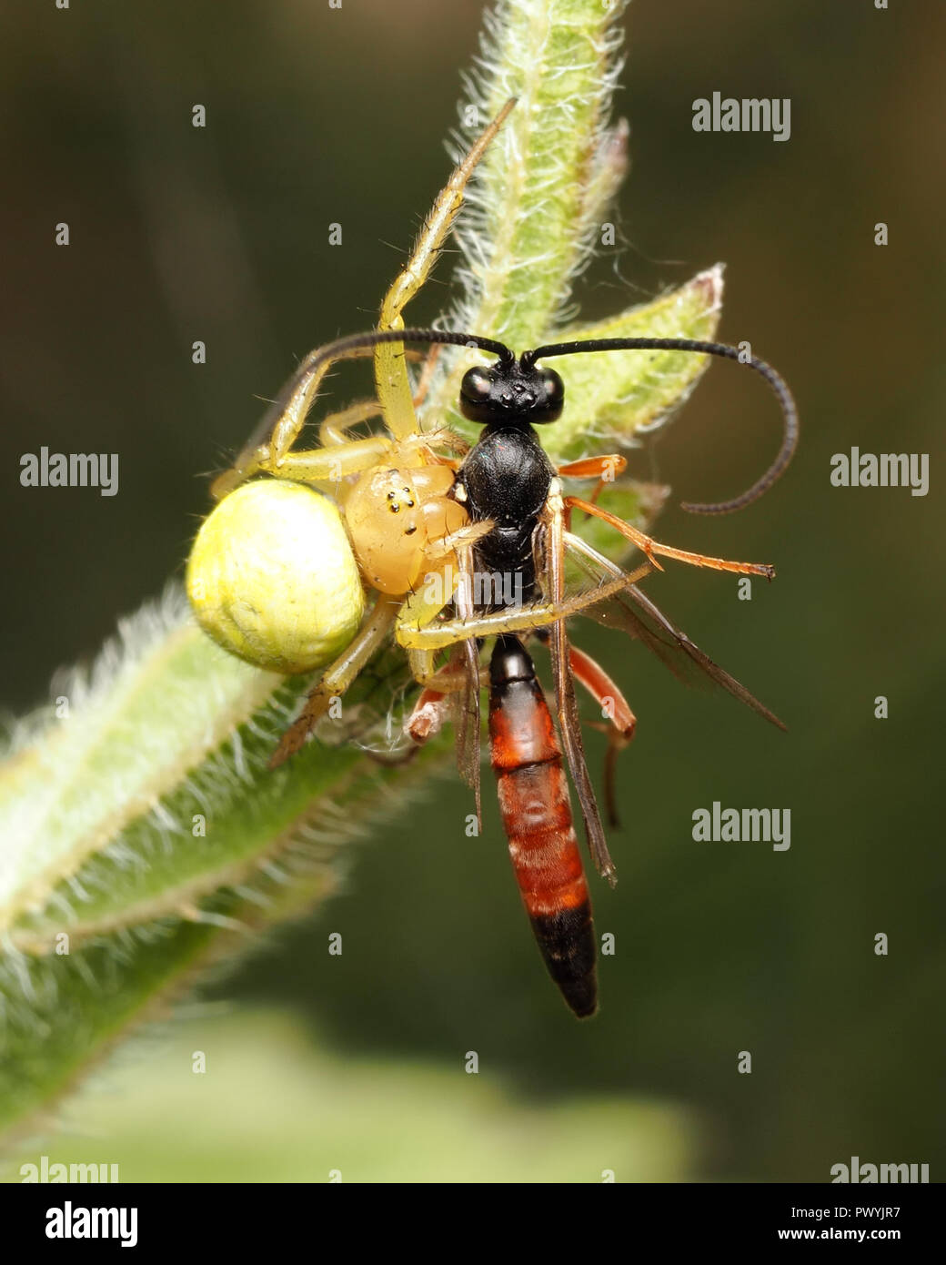 Parasitoid wasp caught by cucumber green spider. Tipperary, Ireland - Stock Image