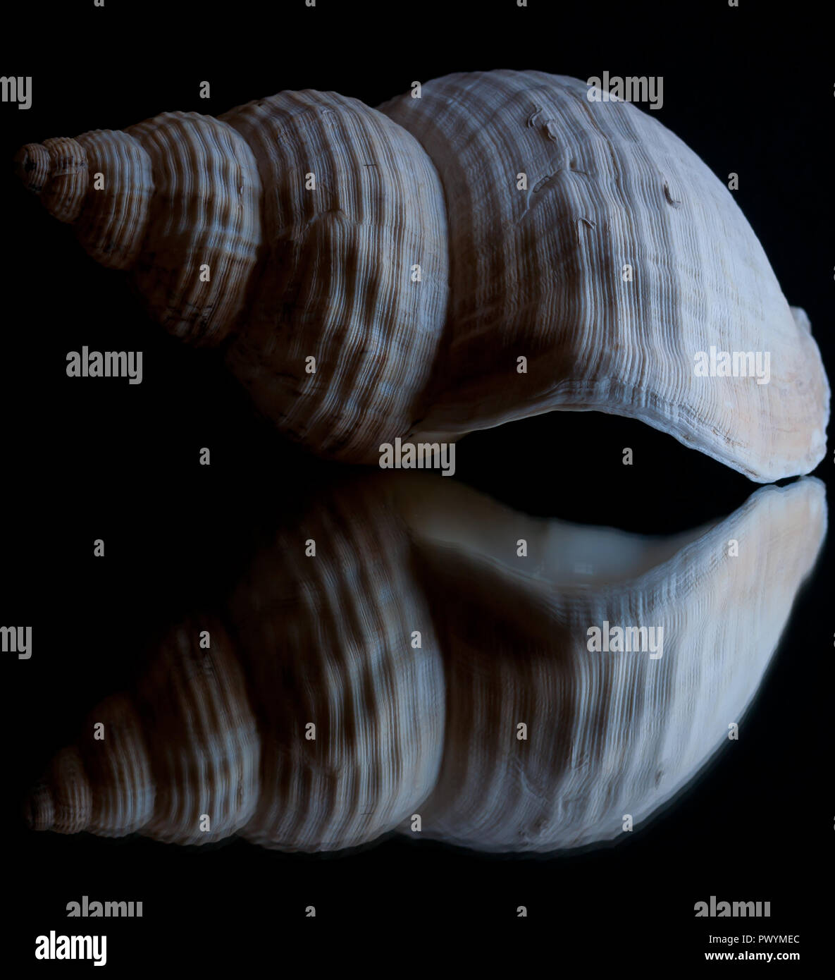 High contrast image and reflection of a seashell with black background Stock Photo